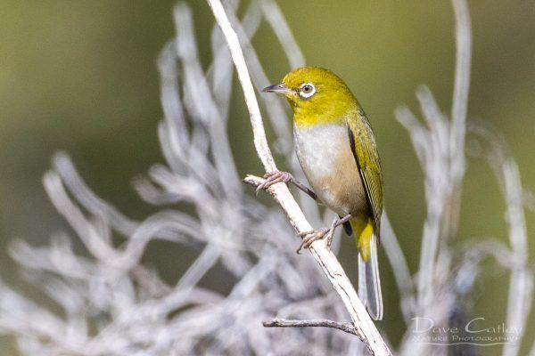 Silvereye, Mindarie, Perth, Western Australia - Photographic Art
