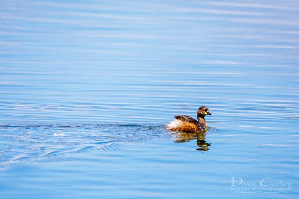 Australasian Grebe, Lake Monger, Perth, Western Australia