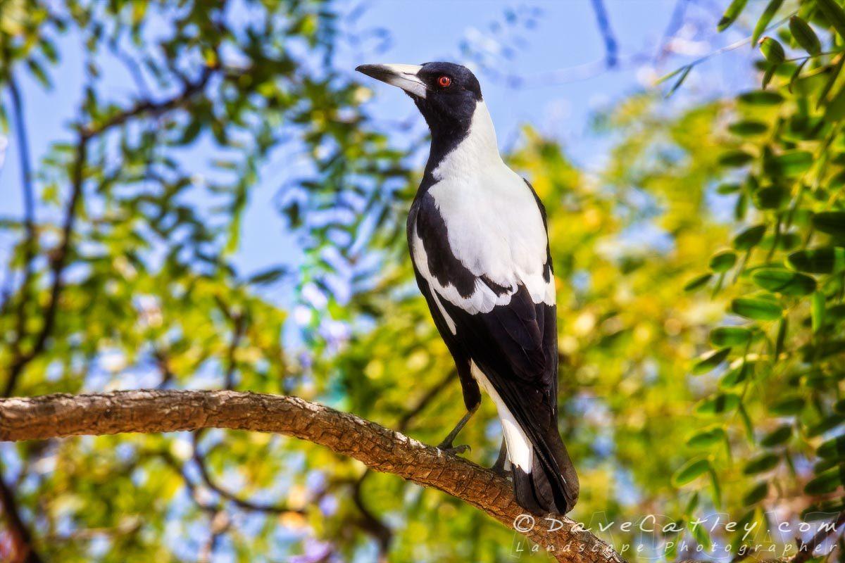 Majestic Magpie - Australian Magpie, Mindarie, Perth, Western Australia, Wildlife Photographic Art (AMP1.4-V1-TH1)