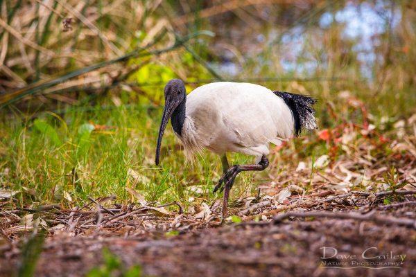 Australian White Ibis, Lake Monger, Perth, Western Australia