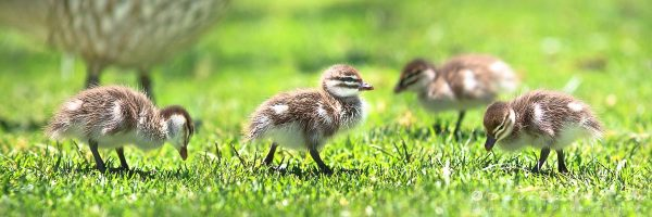 Australian Wood Ducklings, Yanchep National Park, Perth, Western Australia - Photographic Art