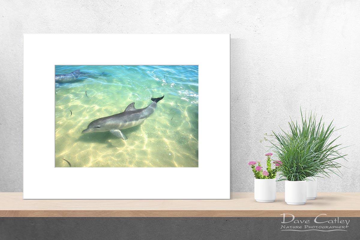Samu - Baby Dolphin, Monkey Mia, Shark Bay, Western Australia, Wildlife Print (CCW1.1-V1-TH1)