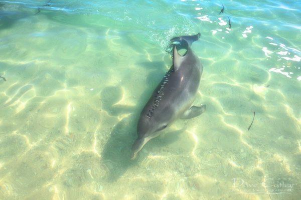 Samu - Baby Dolphin, Monkey Mia, Shark Bay, Western Australia, Wildlife Print (CCW1.2-V1-TH1)