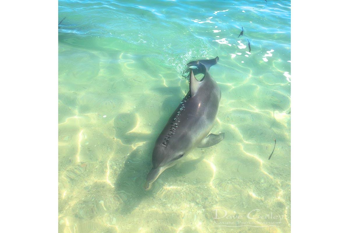 Samu - Baby Dolphin, Monkey Mia, Shark Bay, Western Australia, Wildlife Tote Bag(CCW1.2-V1-TB1)