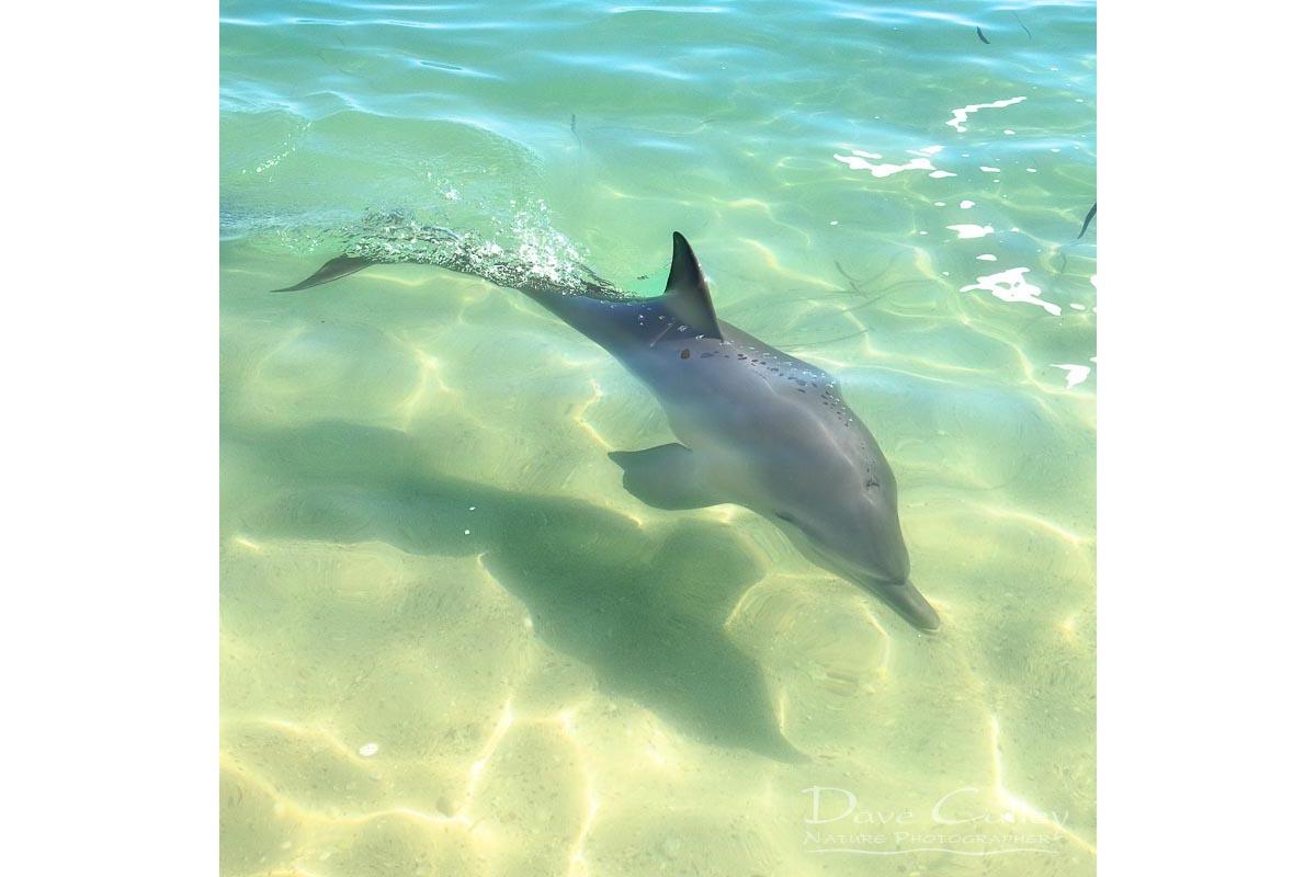 Samu - Baby Dolphin, Monkey Mia, Shark Bay, Western Australia, Wildlife Cushion Cover (CCW1.3-V1-CC1)