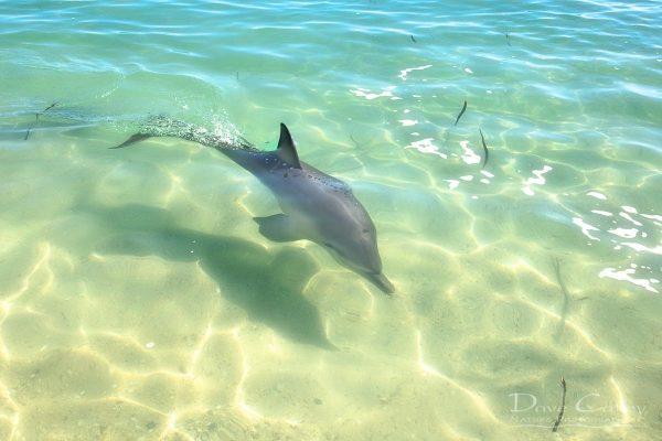 Samu - Baby Dolphin, Monkey Mia, Shark Bay, Western Australia, Wildlife Print (CCW1.3-V1-TH1)
