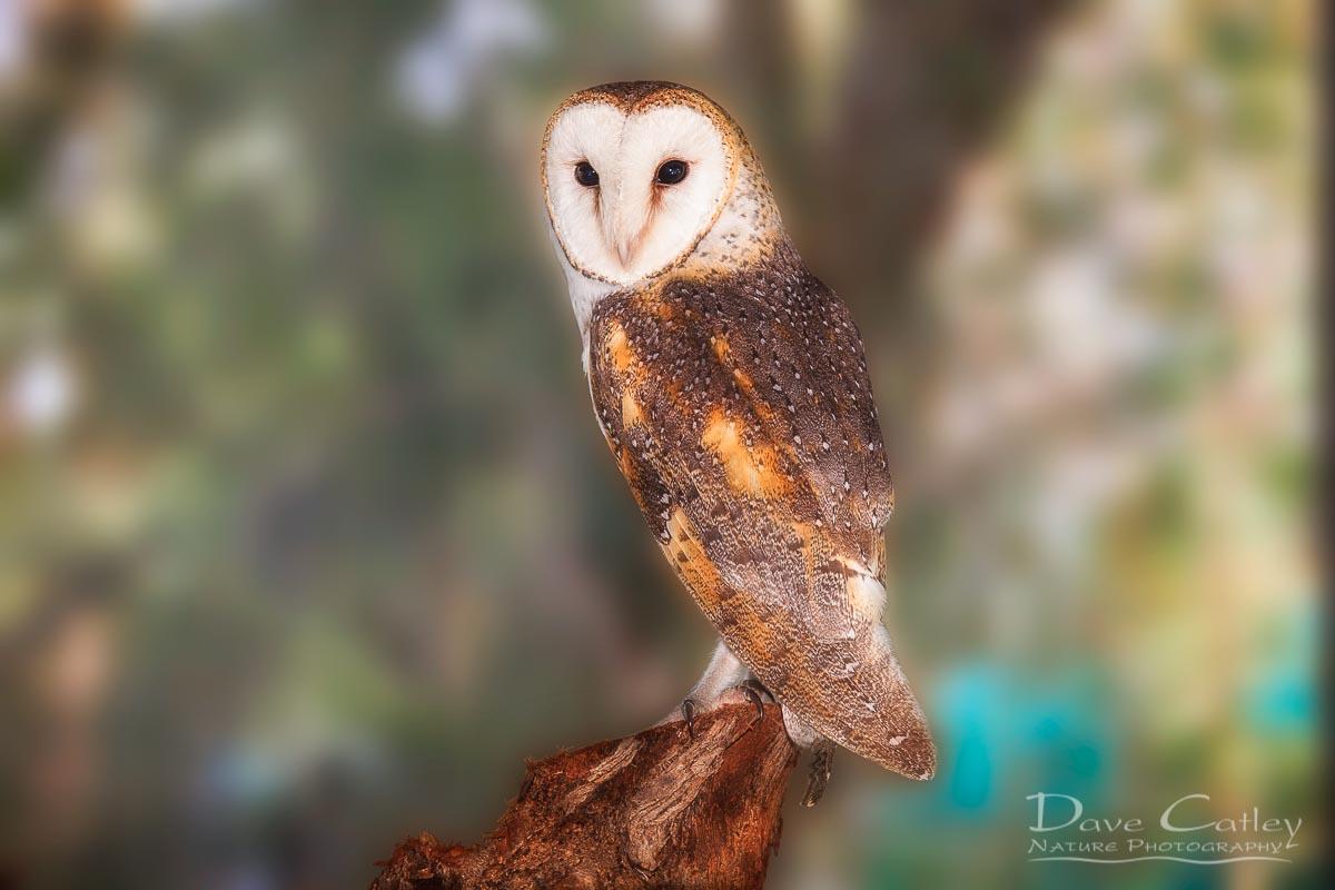 Chips - Barn Owl, Native Animal Rescue, Perth, Western Australia, Wildlife Print (NAR1.8-V1-TH1)
