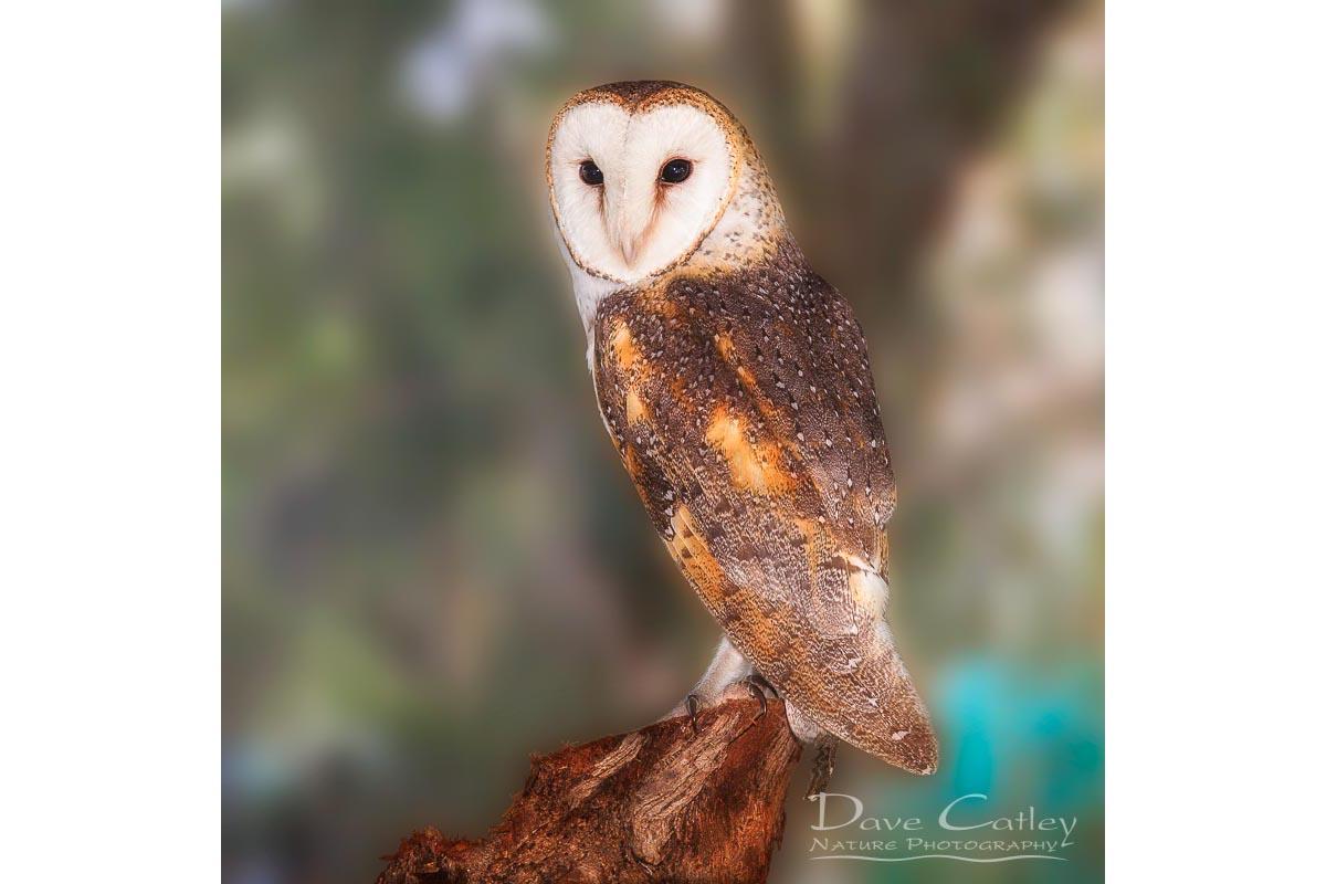 Chips - Barn Owl, Native Animal Rescue, Perth, Western Australia, Wildlife Tote Bag(NAR1.8-V1-TB1)