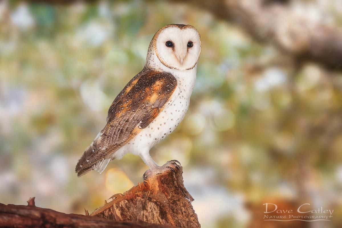 Chips the Owl - Barn Owl, Native Animal Rescue, Perth, Western Australia, Wildlife Print (NAR1.9-V2-TH1)