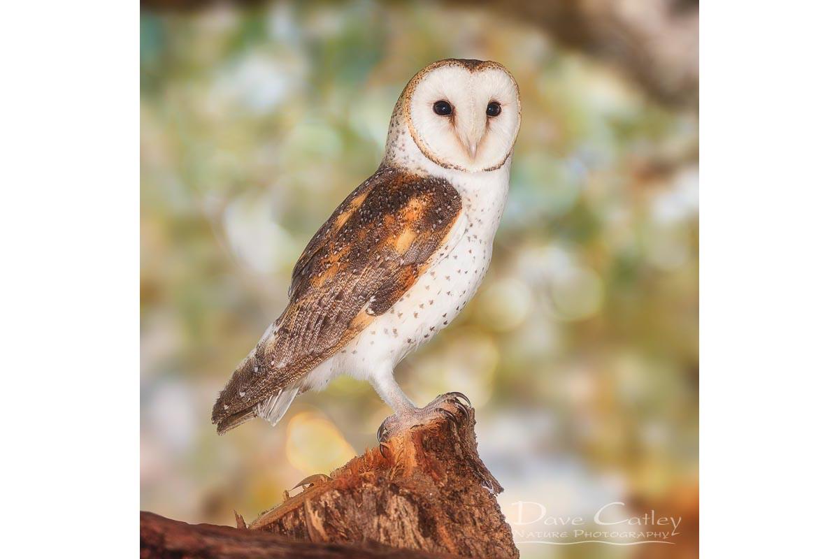Chips the Owl - Barn Owl, Native Animal Rescue, Perth, Western Australia, Wildlife Tote Bag(NAR1.9-V2-TB1)