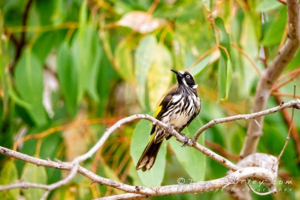 Bird Photography - New Holland Honeyeater, Gidgegannup, Perth, Western Australia - Photographic Art