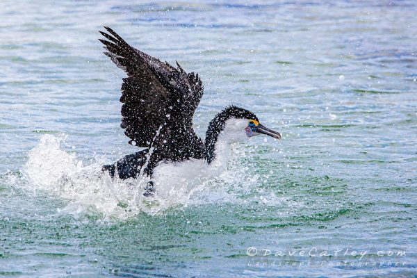 Bird Photography - Pied Cormorant, Mindarie, Perth, Western Australia - Photographic Art