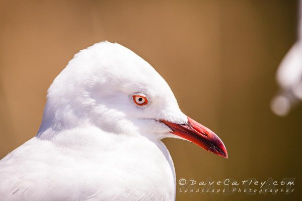Bird Photography - Silver Gull, Neil Hawkins Park, Perth, Western Australia - Photographic Art