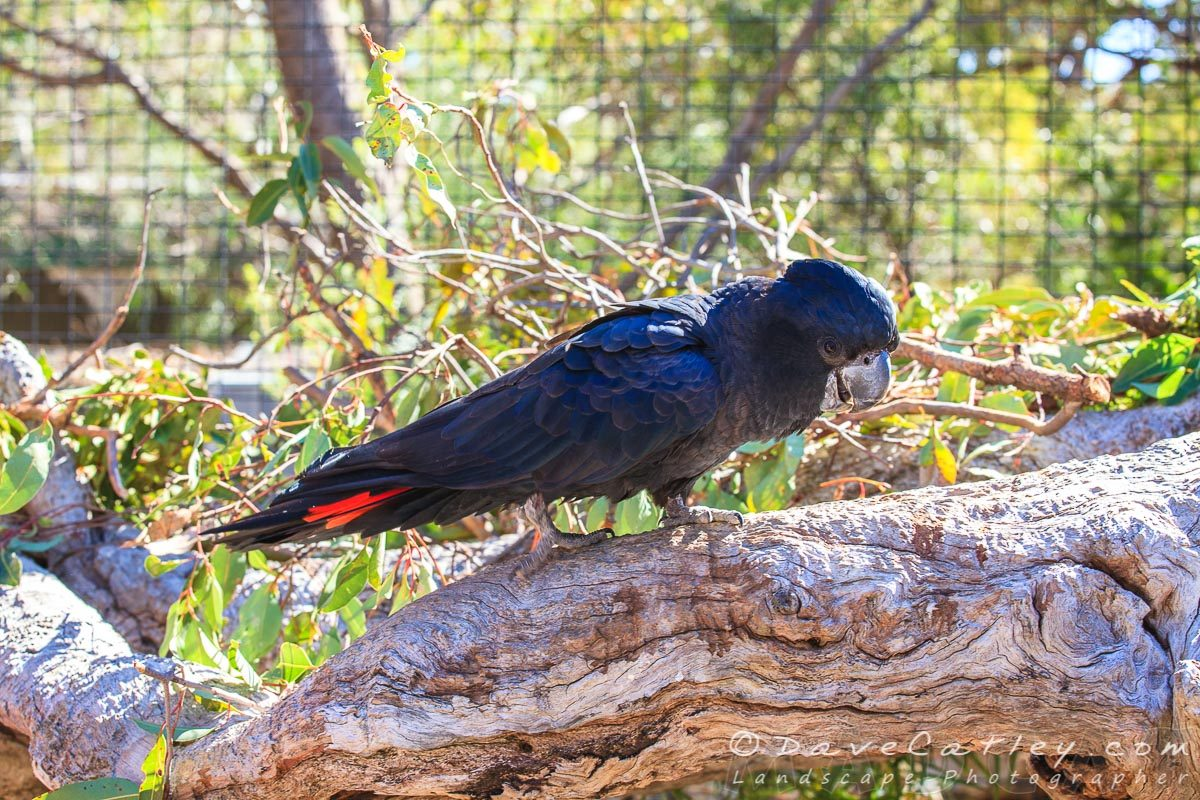 Black Cockatoos, Kaarakin Black Cockatoo Centre, Western Australia - MADCAT Photography