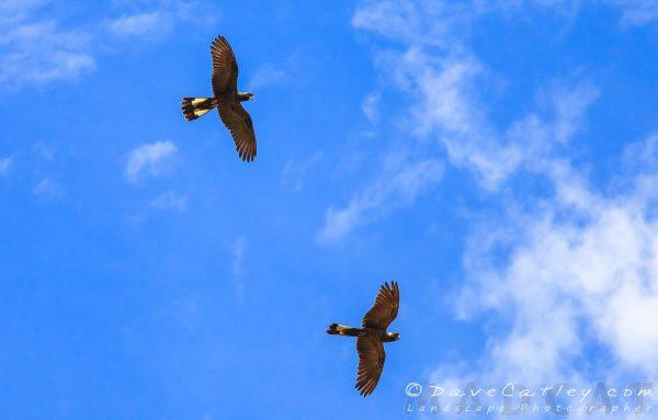 Carnaby Black Cockatoos, Yanchep National Park, Perth, Western Australia