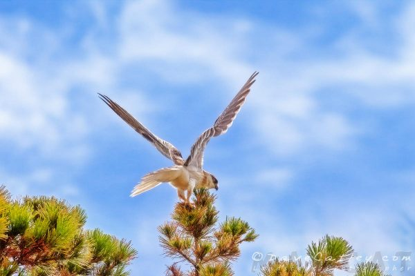 Preparing for Launch - Black-Shouldered Kite, Mindarie, Perth, Western Australia, Wildlife Photographic Art (WBL1.5-V1-TH1)