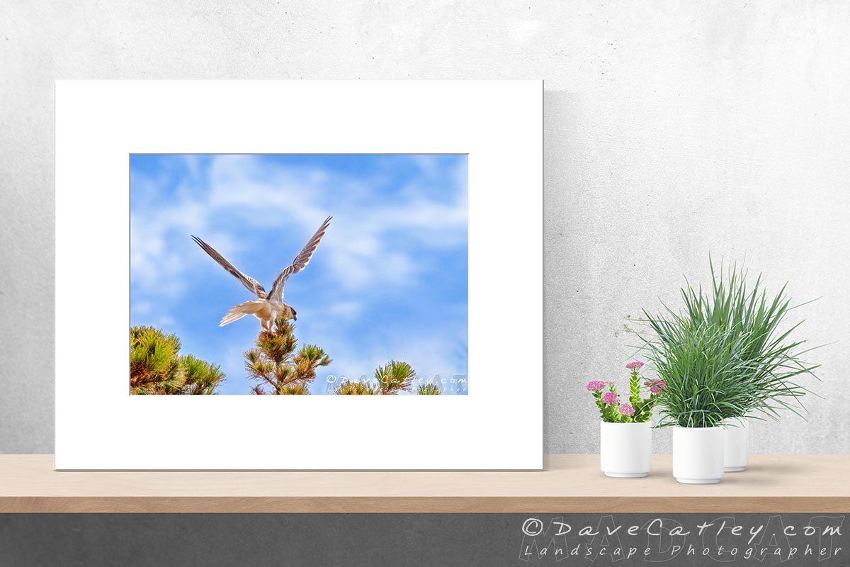 Preparing for Launch - Black-Shouldered Kite, Mindarie, Perth, Western Australia, Wildlife Photographic Art (WBL1.5-V1-TH1)