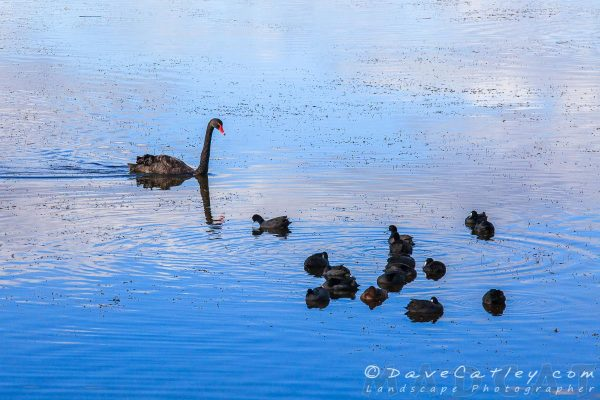 Black Swan, Lake Joondalup, Perth, Western Australia - Photographic Art