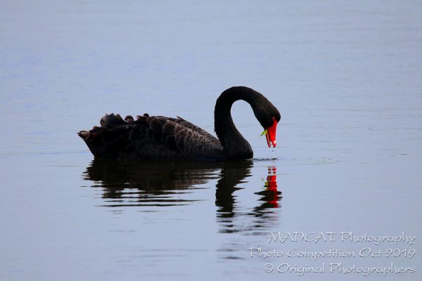 Black Swan - Photo Competition, MADCAT Photography, Perth, Western Australia