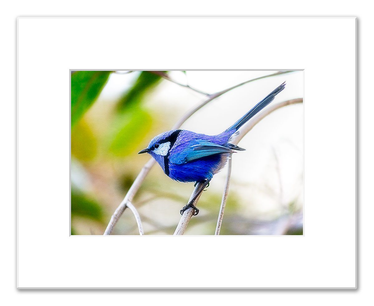 Blue Wren, Splendid Fairy Wren, Margaret River, Western Australia - 5in x 7in Matted Fine Art Print