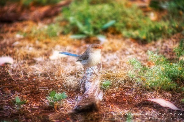 Lady Blue Wren, Bushy Lakes, Margaret River Photographic Art