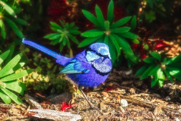 Blue Wren 2, Bushy Lakes, Margaret River Photographic Art