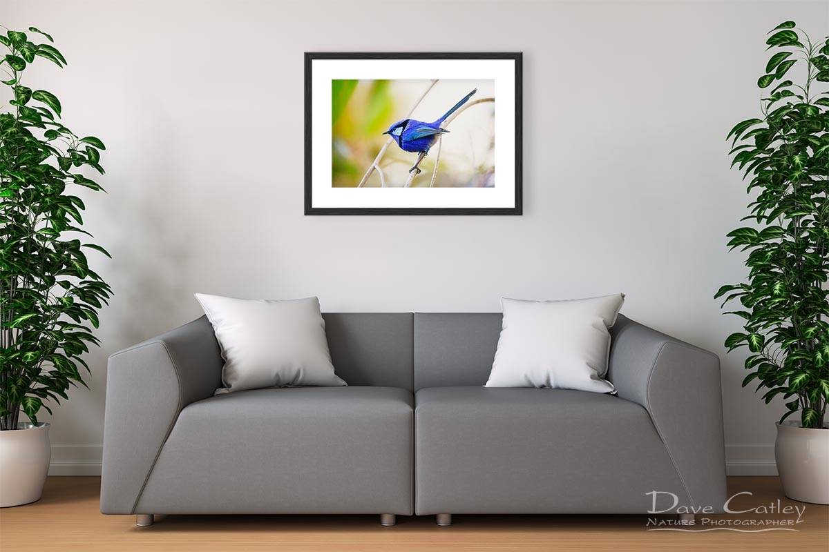 Sitting Pretty - Blue Wren, Bushy Lakes, Margaret River, Western Australia, Wildlife Print (BWB1.1-V2-TH1)