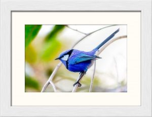 Blue Wren, Margaret River, Western Australia - Framed & Matted 8in x 10in Fine Art Print