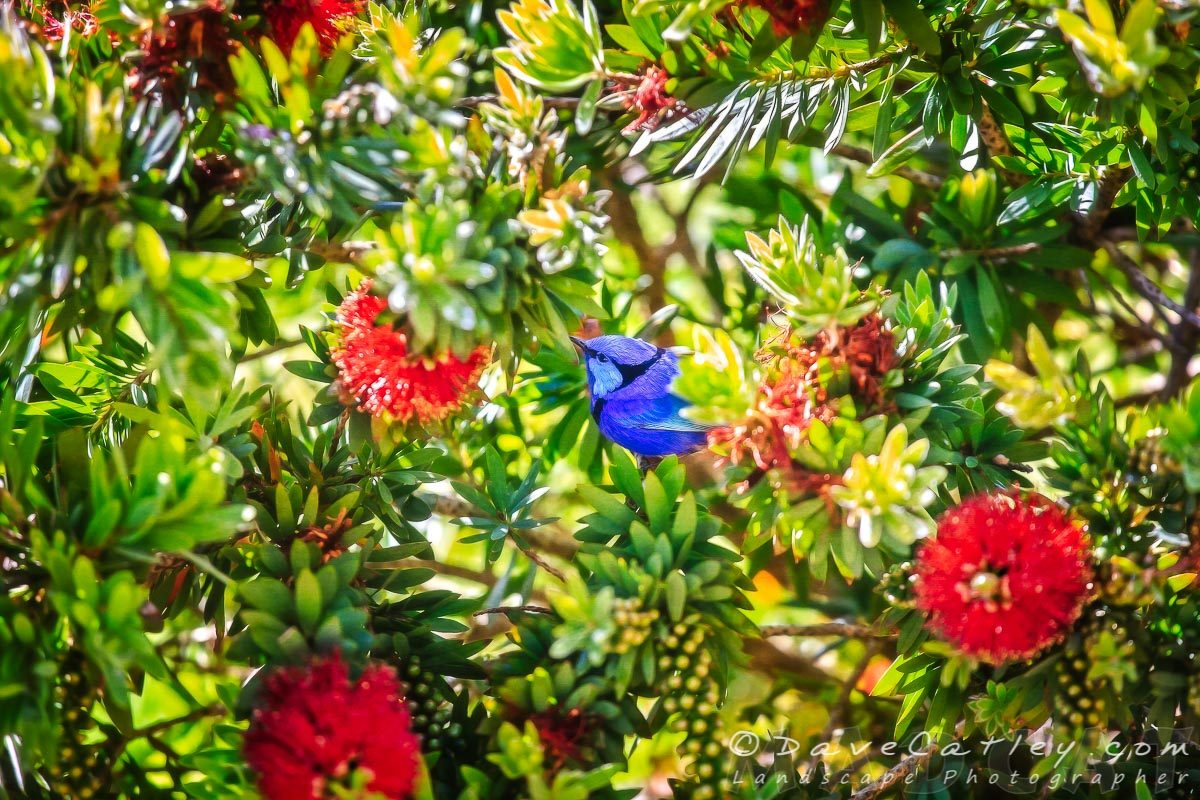 Blue Wren in a Bottle Brush, Margaret River, Western Australia - Photographic Art