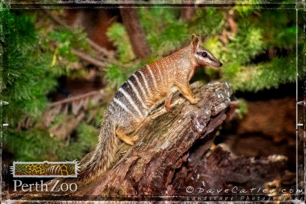 Bonzai the Numbat, Perth Zoo, South Perth,Western Australia