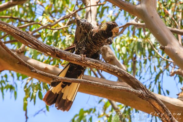 Carnaby Black Cockatoos, Yanchep National Park, Perth, Western Australia