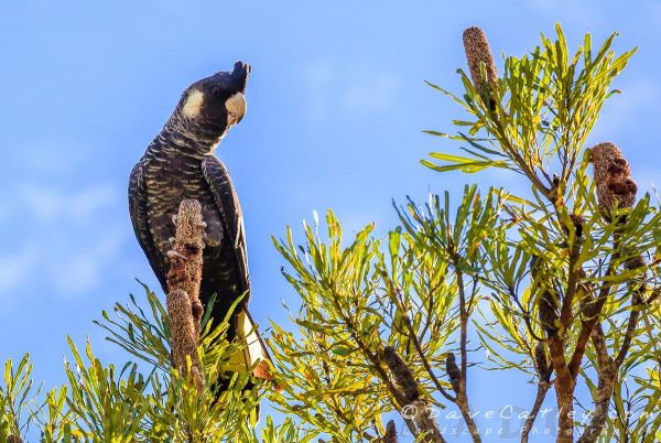 Carnaby's Black Cockatoo, Yanchep National Park, Perth, Western Australia - Photographic Art
