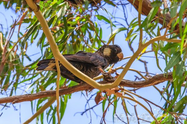 Carnaby's Black Cockatoos, Yanchep National Park, Perth, Western Australia - Photographic Art