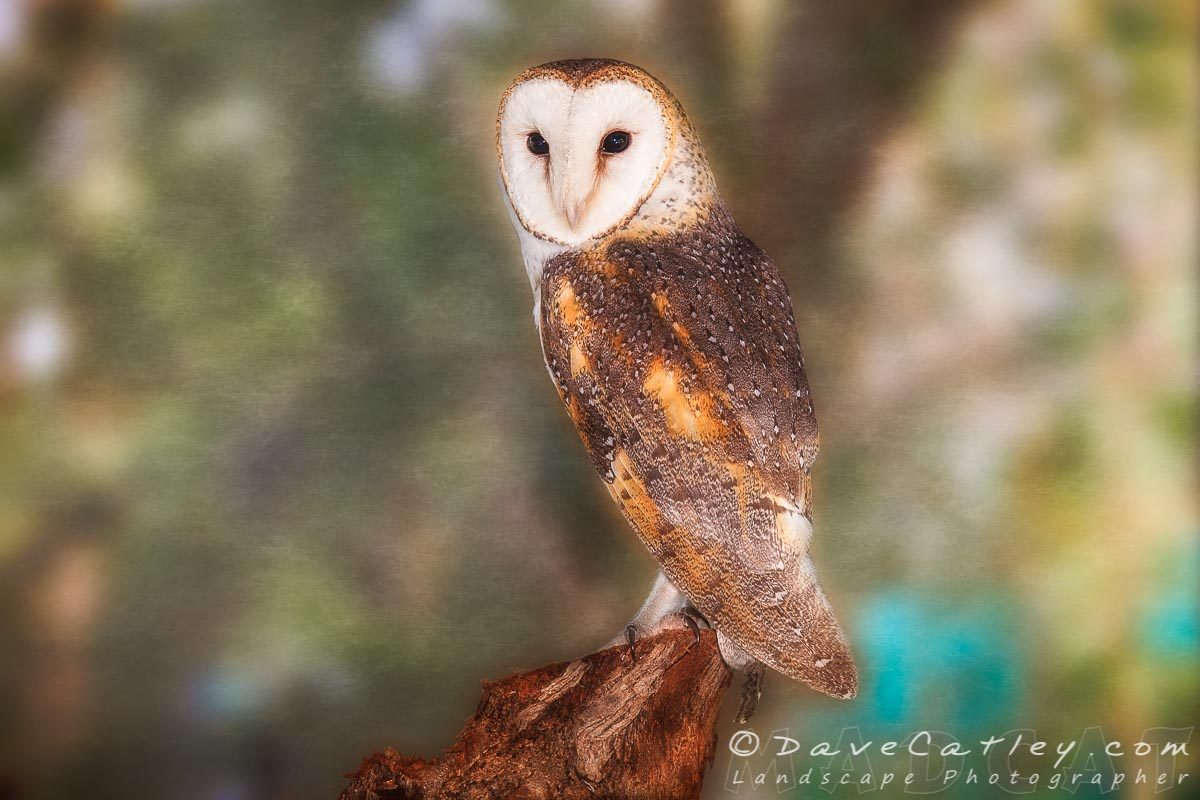 Chips the Barn Owl, Native Animal Rescue, Perth, Western Australia - Photographic Art