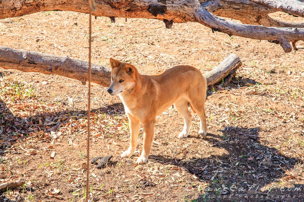 Dingoes, Kaarakin Black Cockatoo Centre, Western Australia - MADCAT Photography