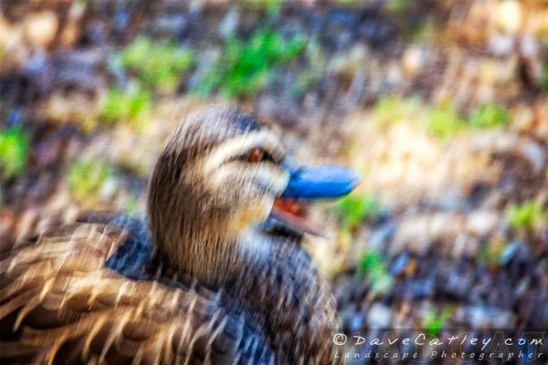 Duck Says Yes, Yanchep National Park, Perth, Western Australia