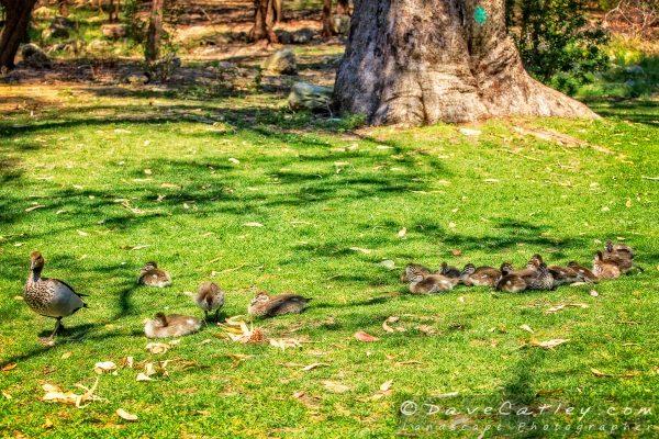 Duckling Creche, Yanchep National Park, Perth, Western Australia