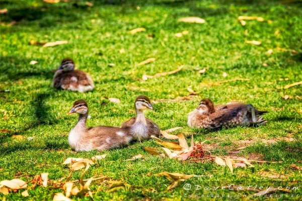 Ducklings On Watch, Yanchep National Park, Perth, Western Australia