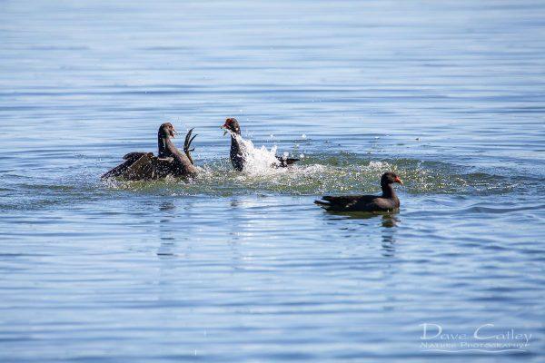 Dusky Moorhen, Lake Monger, Perth, Western Australia