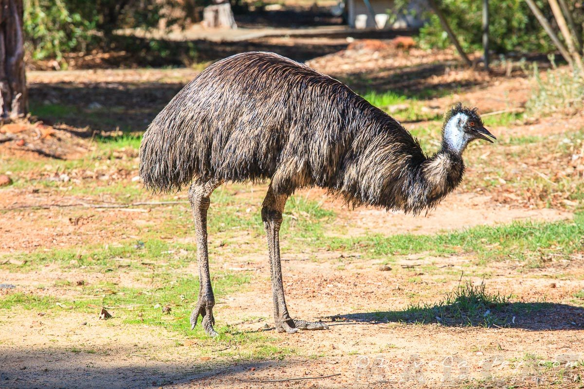 Emu, Kaarakin Black Cockatoo Centre, Western Australia - MADCAT Photography