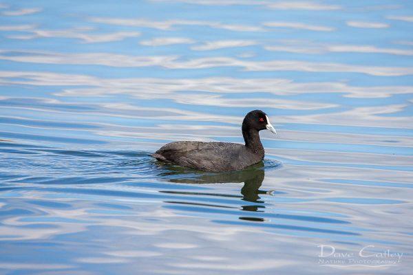 Eurasian Coot, Lake Monger, Perth, Western Australia