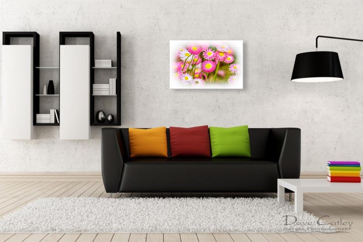 Pink Perfection - Everlasting Daisies, Kings Park, Perth, Western Australia, Flora Print (KPF1.1-V2-TH1)