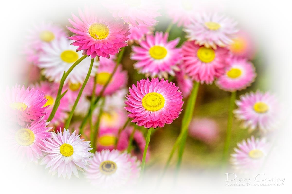 Pink Perfection - Everlasting Daisies, Kings Park, Perth, Western Australia, Flora Stubby Holder (KPF1.1-V2-SH1)