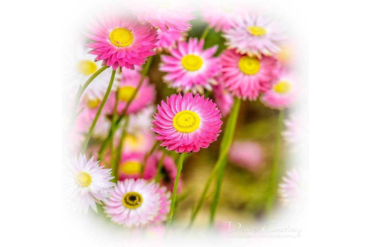Pink Perfection - Everlasting Daisies, Kings Park, Perth, Western Australia, Flora Tote Bag (KPF1.1-V2-TB1)