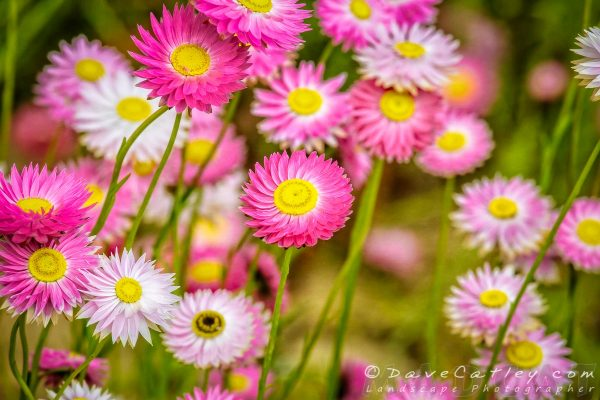 Everlasting Daisies , Kings Park, Perth, Western Australia - Photographic Art