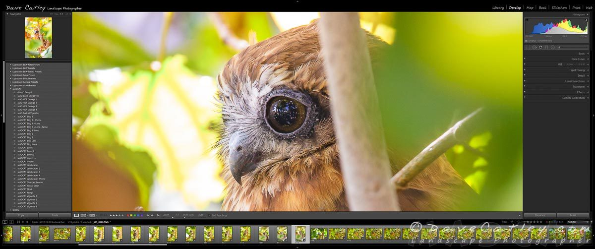 Focus on the Eyes - Southern Boobook Owl, Mindarie, Western Australia