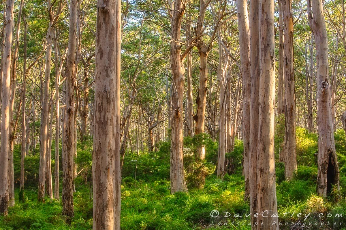 Forest Twilight 1, Boranup Forest, Margaret River, Western Australia - Photographic Art (BFV1.1-V3-TH1)
