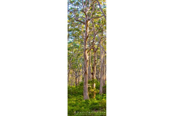 Forest Twilight 2, Boranup Forest, Margaret River, Western Australia - Photographic Art