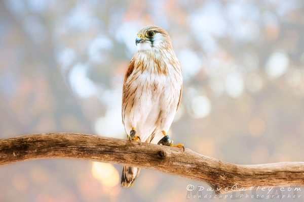 Harriet the Nankeen Kestrel, Native Animal Wildlife, Perth, Western Australia - Photographic Art