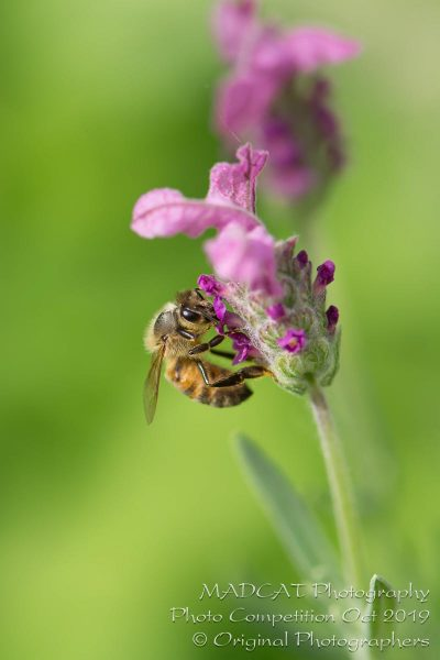 Honey Bee - Photo Competition, MADCAT Photography, Perth, Western Australia